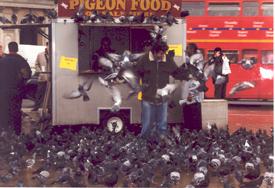 Dan Guzman mobbed by Pigeons